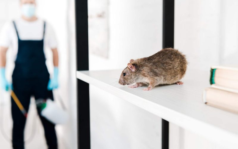 selective focus of small rat near exterminator holding toxic equipment